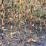 2006.11.18.- Tûz a kukoricásban